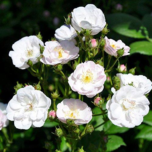 Ramblerrose Perennial Blush Premium Pflanzen-K/ölle Gartenrose im 6 L Topf - wei/ß bl/ühende Topfrose frisch aus der G/ärtnerei