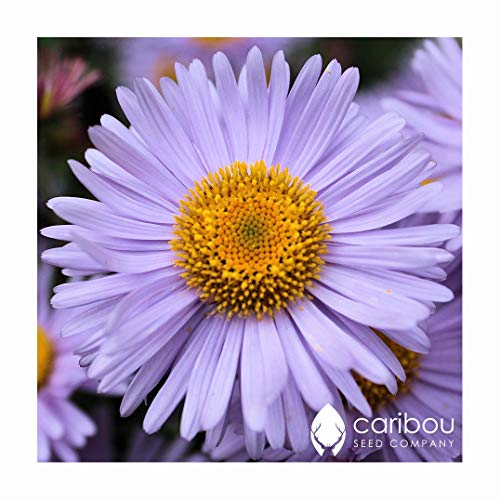 Perennial: MICHAELMAS DAISY (Wartburg Star) 20 Seeds - Colorful, Beauty, Easy To Grow - High Germination, Fresh ()