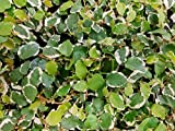 Variegated Creeping Fig Vine - Ficus Pumila