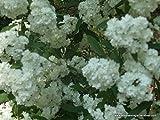 Bridal Wreath Spiraea, spring flowering, white flowers allseasonsgardenshop09