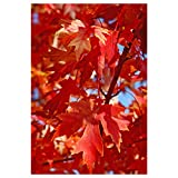Autumn Blaze Maple Tree - Acer saccharinum - Heavy Established Roots - One Gallon Potted - 1 Plant by Growers Solution