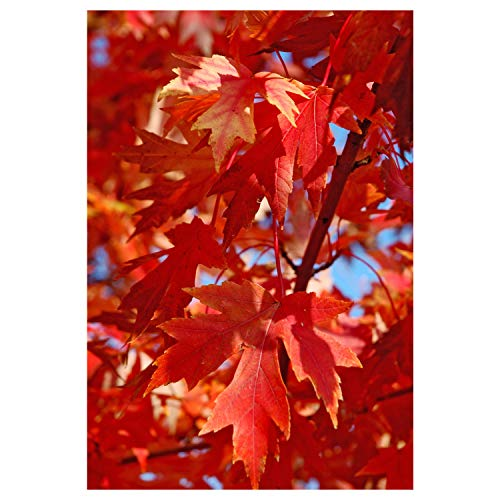 (Autumn Blaze Maple Tree - Acer saccharinum - Heavy Established Roots - One Gallon Potted - 1 Plant by Growers Solution)