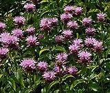 MONARDA 'BEAUTY OF COBHAM' - BEEBALM - STARTER PLANT - SEMIDORMANT