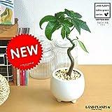 LAND PLANTS パキラ × 白色足付ポット コンパクトな発財樹 1本立ち パキラ・アクアティカ