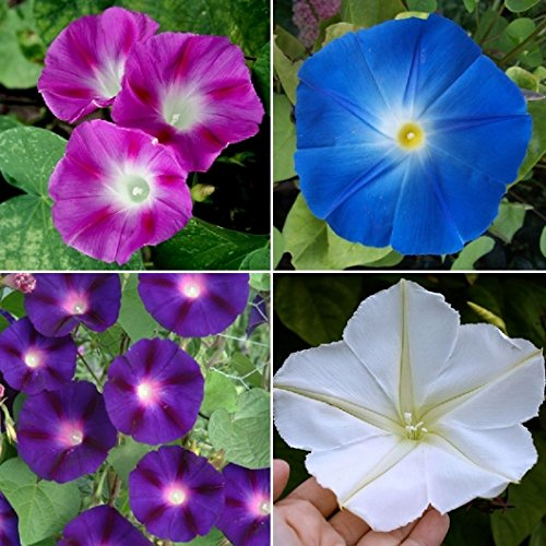 Flower Morning Glory Top of the Morning RSL7776 (Multi) 50 Open Open Pollinated Seeds (Morning Glory Perennial)