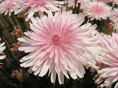 Tone Daisy Flower (25 PINK HAWKSBEARD Crepis Rubra Flower Seeds Everlasting Daisy Two Tone Double)
