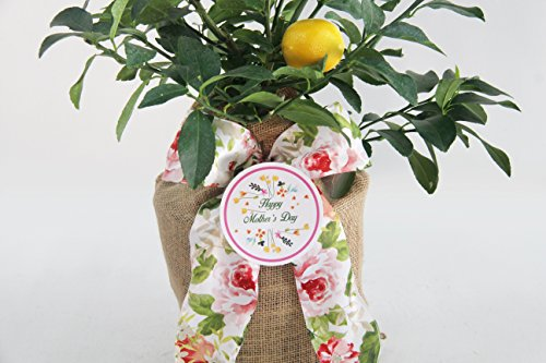 Mother's Day Meyer Lemon Gift Tree by The Magnolia Company - Get Fruit 1st Year, Dwarf Fruit Tree with Juicy Sweet Lemons, No Ship to TX, LA, AZ and CA by The Magnolia Company (Image #2)