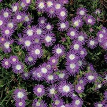 Outsidepride Ice Plant Stardust Flowering Ground Cover Seed - 1000 Seeds ()