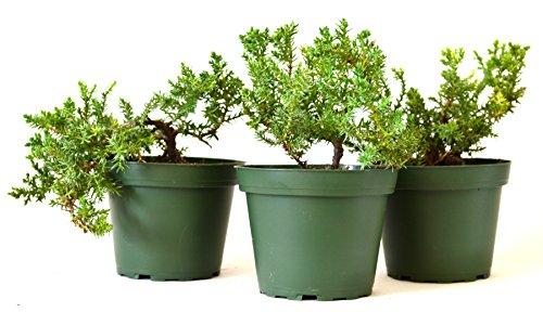 9greenbox-juniper-procumbens-nana-bonsai-starter-plant3-pound-pack-of-3