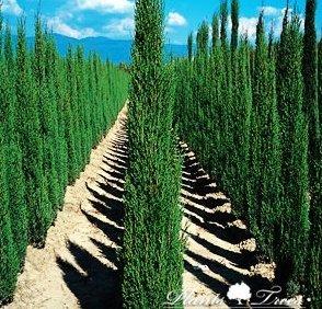 cupressus sempervirens totem pole totem cypress 125 150cm garden outdoors. Black Bedroom Furniture Sets. Home Design Ideas