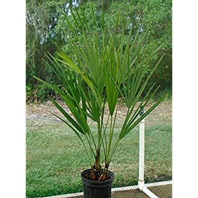Live Everglades Palm Trees 2 to 3 Feet Tall : Garden & Outdoor