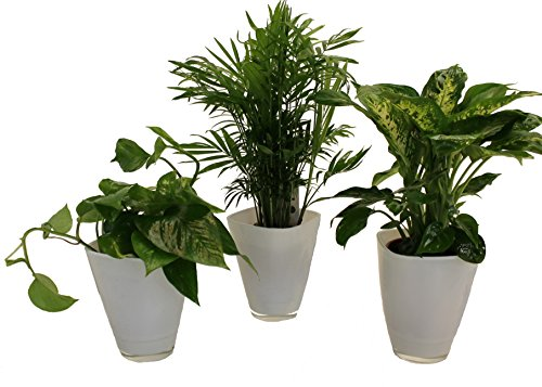 Pflanzenservice 891146 Tropic-Trio, Efeutute Zimmerpalme mit Dieffenbachia und Dekotopf, weiß
