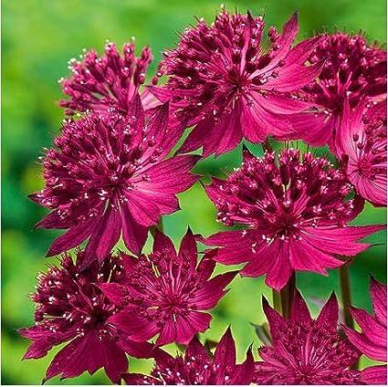 Tomasa Samenhaus Rarit/äten 50 St/ück Sterndolden Blumensamen Duft-Astrantia Blumen Saatgut winterhart mehrj/ährig Stauden Sterndolden Garten Pflanzen