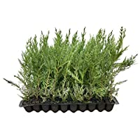 Leyland Cypress - Qty 30 Fully Rooted Live Plants - Evergreen Privacy Trees