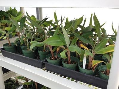 """Manzano """"Apple"""" Banana Plant ***Rare*** Live Manzano """"Apple"""" Banana Tree"""