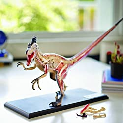 4D Vision Velociraptor Anatomy Modely by Fame Master