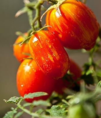 Sunset Falls Grape Tomato Seeds