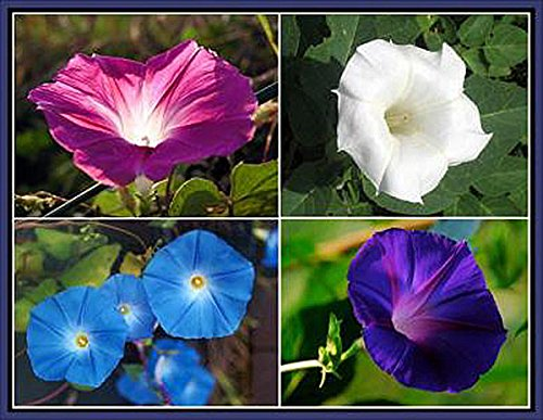 Morning Flower (Mix of Blue, Purple, White, Rose Morning Blooming Vine Seeds)