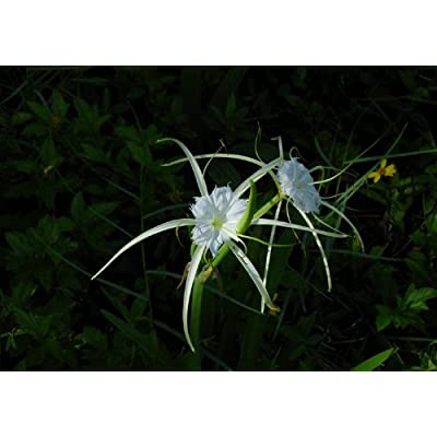 25 Alligator lily - Hymenocallis palmeri : Aquatic Plants : Garden & Outdoor