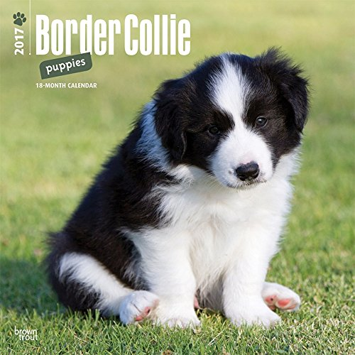 2017 Monthly Wall Calendar - Border Collie Puppies