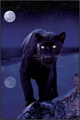 Amazon.com: Pantera negra en luz de la luna 24 x 36 inches ...