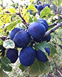 FIVE PLANTS OF 5 gallon Bare-root, BLUE DAMSON PLUM tree, Very old variety, rugged, vigorous and dependable. Small, round, blue-black plums for jams and jellies(Hydrangeas Shrub, Evergreens, Gardenia
