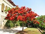 12 Seeds Delonix Regia (Royal Flower Poinciana, Flame Tree)