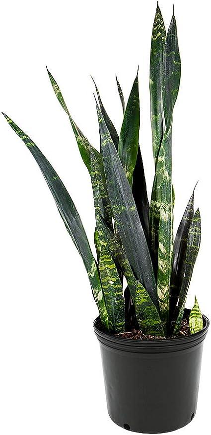 Live Plant Organic Sansevieria Trifasciata