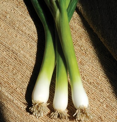 David's Garden Seeds Bunching Onion Guardsman D029 (White) 500 Open Pollinated Seeds