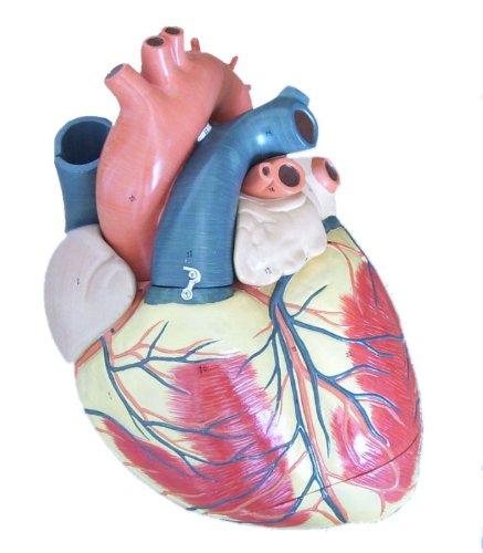 Medical Anatomical Human Jumbo Heart Model, 3-part, 3X Enlarged