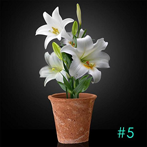 Lily Potted Peace (Sholdnut Home Garden Balcony Perfume Lily with Buds Green Plants Potted Flower Seeds Flowers)