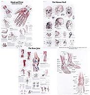 Toyvian 4Pcs Conjunto de Pôster Anatômico Diagrama de Anatomia Do Músculo Esquelético Gráfico de Anatomia Do M