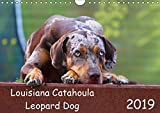 Louisiana Catahoula Leopard Dog - Catahoula Kalender 2016 (Wall Calendar 2019, 14 Pages, Size DIN A4 = 8.27 x 11.69 inches)