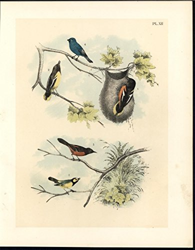 Baltimore Orioles Lithograph - Baltimore Oriole Hooded Flycatcher 1895 antique color lithograph Avian print