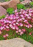 seedsown - Mossy Saxifrage (Rockfoil) (Saxifraga x arendsii) - 100 Seeds - Alpines/Stone Gardens