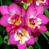 Kraft Seeds Pink Freesia Flower Bulb  (Pack of 10)