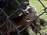 Tiger Attacks Zookeeper