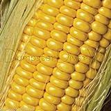 Golden Jubilee CORN 30+ seeds Huge Ears High yield SWEET Hybrid Organic NON-GMO