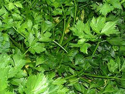 Parsley, Italian dark green flat leaf parsley seeds, Heirloom, Organic, Non Gmo, 100 Seeds, Parsley - Organic Seed Parsley