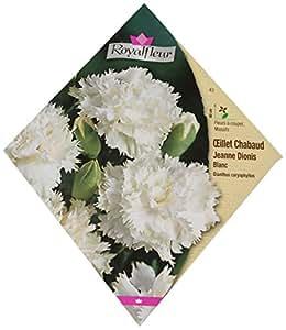 Royal Fleur - Semilla clavel chabaudjeanne diones blanco 1cor
