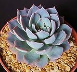 Echeveria cultivar subsessillis rare blue color succulent cactus plant 4' pot