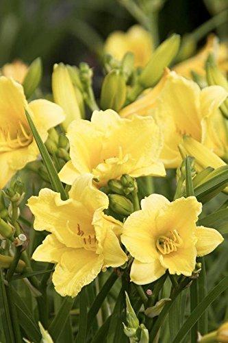 Gate Garden Day Lilly Dwarf Yellow Flower Bulbsseeds Pack Of 5