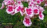 "ZONAL GERANIUM - AMERICANA WHITE SPLASH - PLANT - 4"" POT - LIVE PLANTS"