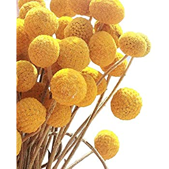 Amazon 2018 summer new arrival tyoungg dried craspedia yellow kalor dried flowers branch farmhouse stylet craspedia yellow billy balls home decor diy 10 stems mightylinksfo