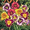 5 ASSORTED DAYLILY ASSORTED DAYLILIES! WHOLESALE DAYLILY MIXED . PLANT Root