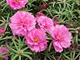 Purslane (portulaca grandiflora) Pink Flower Seeds from Ukraine