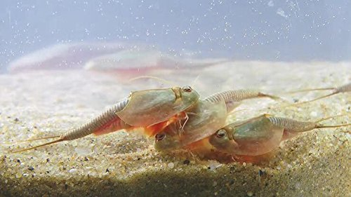 Triops longica udatus urzeitkrebse Starter Set Ultra
