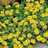 Outsidepride Ice Plant Congestum Ground Cover Flower Seed - 100 Seeds