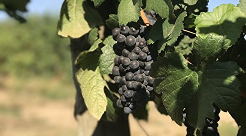 50 lb Ultra Premium Oregon Pinot Noir - WineGrapesDirect - 100% All Natural & Not From Concentrate - Willamette Valley AVA - Frozen Grape Must for Winemaking