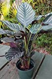 "Calathea Ornata Pink stripe 8"" potted plant house plant XTRA LARGE"